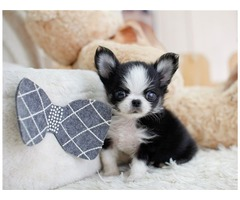Sweet mini chihuahua pupps available for christian home