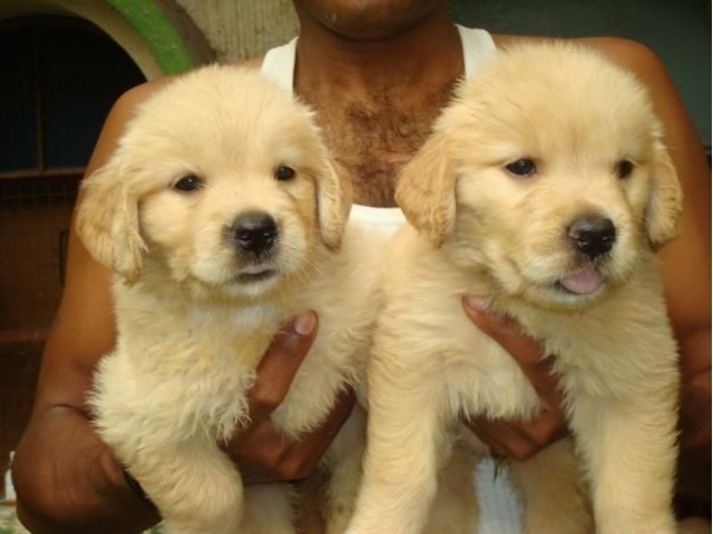 AKC M/F Golden Retriever Puppies
