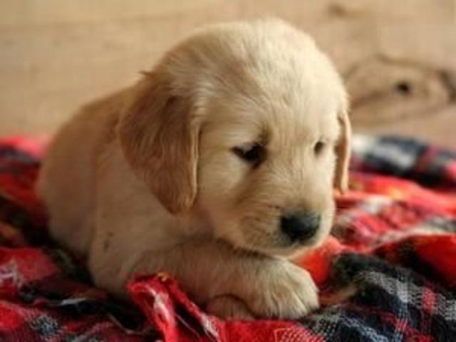 AKC M/F Golden Retriever Puppies