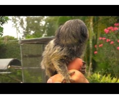 Beautiful 13weeks old little marmoset monkey male and female