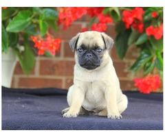 Outstanding male and female Pug puppies for adoption
