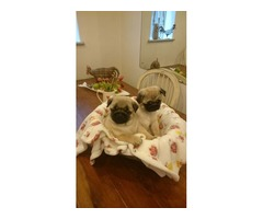 male and female pug puppies available for rehoming