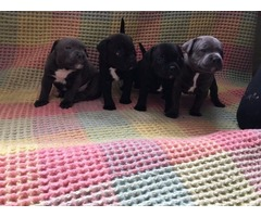 Stunning Staffords For Sale