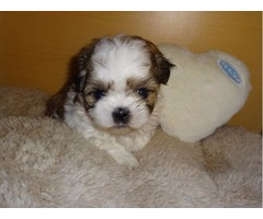 Imperial Shih Tzu X Kc Tiny Maltese