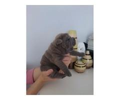 Reg Shar Pei Puppies