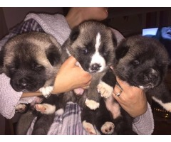 Beautiful Female Akita Pups