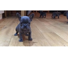 Reg French Bulldogs For Sale