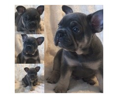World Famous Don Choc Puppies For Sale