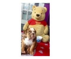 Quality Rare Colour British Bulldog Pups