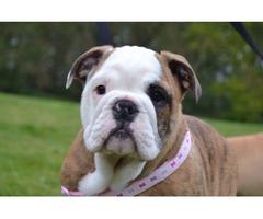Registered Pedigree Bulldog Puppies