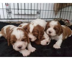Lovely Puppy Calvarier King Charles Spaniel