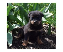 Adourable and Caring Rottweiler Puppies