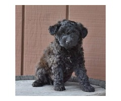 Cute and Cuddly Ausiedoodle Puppies