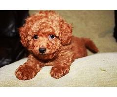 amazing poodle puppies