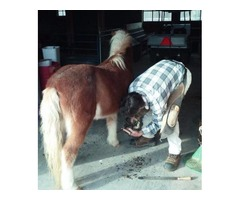 Farrier Services Maryland-Trimming/shoeing.
