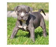 male and female puppies PITBULL