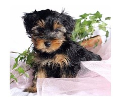 Yorkie PUPPIES in adoption