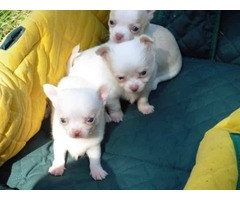 Mini chihuahua puppies  for free