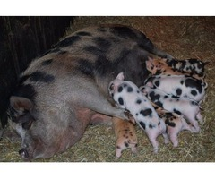 Organically Raised Kune Kune Piglets