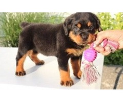 Healthy Male and Female Rottweiler puppies looking for a good home.
