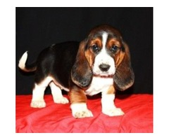 4 Basset hound puppies reay for sale into a good home