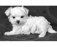 charming maltese for sale