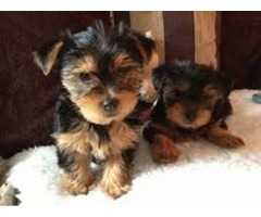 AKC HOME TRAINED YORKIE PUPPIES LOOKING FOR A NEW FAMILY