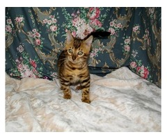 Bengal Kittens For Re-Homing