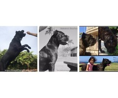 Cane Corso Italian Mastiff pups puppy puppies AKC