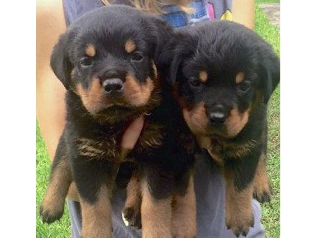 Akc Rottweiler Puppies Animals Idaho Falls Idaho