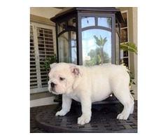 buy english bulldog puppies