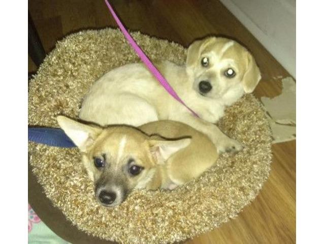 I Sale 2 Chihuahua Mix Puppies Animals Indianapolis Indiana