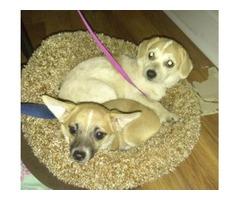 I sale 2 Chihuahua mix puppies