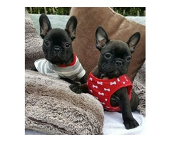 Akc French Bulldog pups for rehoming
