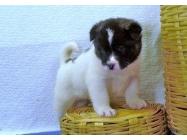 Adorable Akita Puppies For Sale Now At Affordable Price Animals