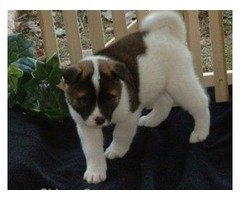affectionate male and female Akita puppies ready to go now!