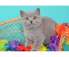 British shorthair adorable kittens