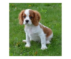Charming Cavalier King Charles Puppies
