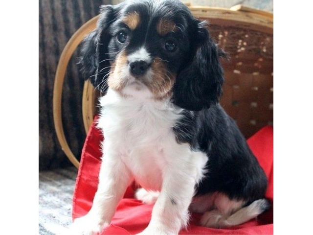 Perfect Cavalier King Charles Spaniel Puppies For Sale Animals
