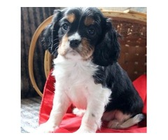 Perfect Cavalier King Charles Spaniel puppies for sale