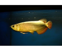 Golden Arowana Fish For Sale And others Now