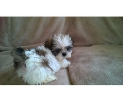 REHOMING Top quality puppies Male & Female Shih Tzu Puppies