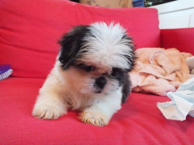 Rehoming Top Quality Puppies Male Female Shih Tzu Puppies
