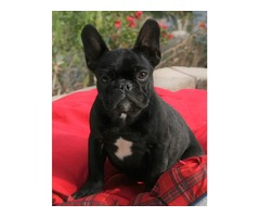 cute french bulldog for sale