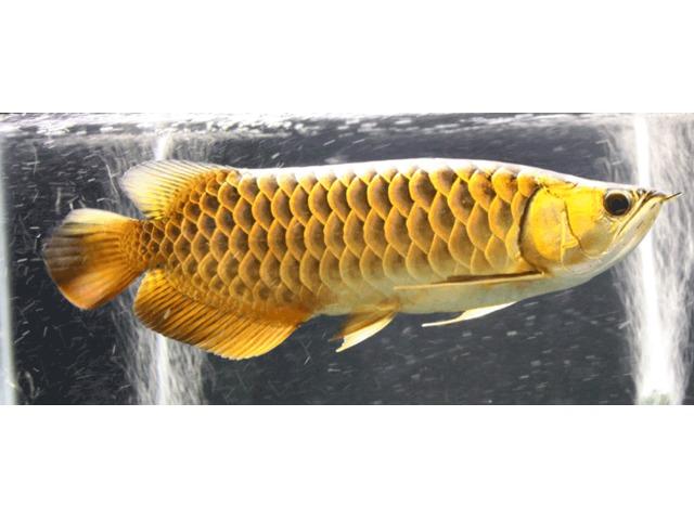 24 K Golden Arowana fisk, Chili Red Arowana, asiatisk Super-6979