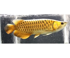 24 K Golden Arowana Fish , Chili Red Arowana, Asian Super Red Arowana Fish