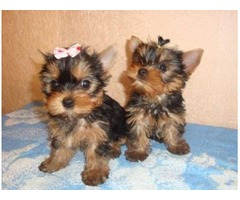 AKC REGISTERED HOME TRAINED YORKIE PUPPIES FOR SALE.