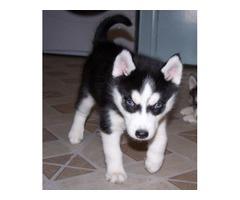 blue eyes husky pups