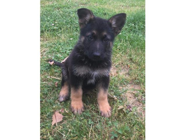 German Shepherd Pups Animals West Liberty Kentucky