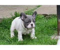 Quality Litter 7 Blue & Blue Pied French Bull Dogs